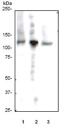Western blot - Rb (phospho S780) antibody [E182] (ab32513)
