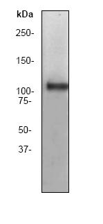 Western blot - Myosin Phosphatase 1 / Myosin Phosphatase 2 antibody [YE336] (ab32519)