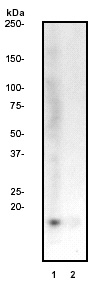 Western blot - Histone H3 (di methyl K9) antibody [Y49] (ab32521)