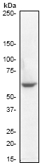 Western blot - Chk1 antibody [E250] (ab32531)