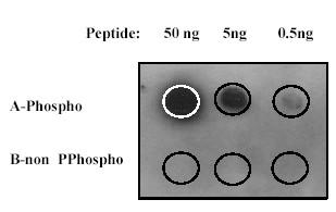 Dot Blot - Synapsin I (phospho S553) antibody [E377] (ab32532)