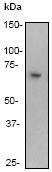 Western blot - Anti-NF-kB p65 [E379] antibody (ab32536)