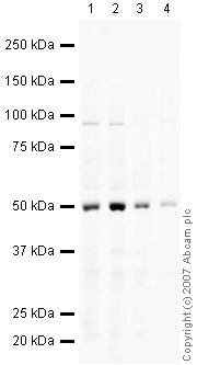 Western blot - Glucose Transporter GLUT1 antibody (ab32551)