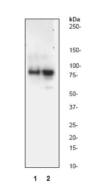 Western blot - cleaved PARP antibody [Y34] (ab32561)