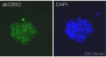 Immunocytochemistry/ Immunofluorescence - Nucleostemin antibody (ab32682)