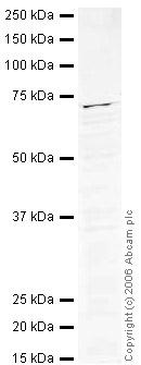Western blot - AF9 antibody (ab32719)