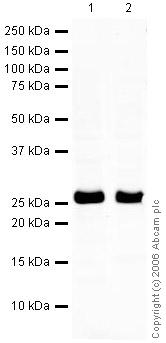 Western blot - Myelin oligodendrocyte glycoprotein antibody (ab32760)