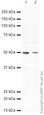Western blot - SFRP4 antibody (ab32784)