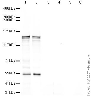 Western blot - CAPS1 antibody (ab32011)