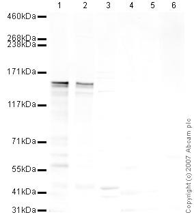 Western blot - CAPS1 antibody (ab32787)