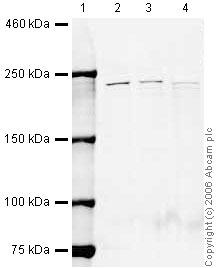 Western blot - Spt6 antibody (ab32820)