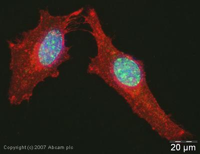 Immunocytochemistry/ Immunofluorescence - MNAR antibody (ab32912)