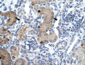 Immunohistochemistry (Formalin/PFA-fixed paraffin-embedded sections) - Anti-ZNF258 antibody (ab33004)