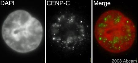 Immunocytochemistry/ Immunofluorescence - CENPC antibody (ab33034)
