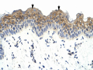Immunohistochemistry (Formalin/PFA-fixed paraffin-embedded sections) - Anti-LW1 antibody (ab33060)