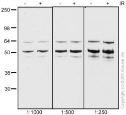 Western blot - NAP1L1 antibody (ab33076)