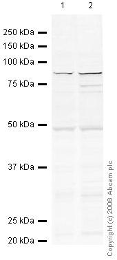 Western blot - Anti-Mre11 antibody (ab33125)