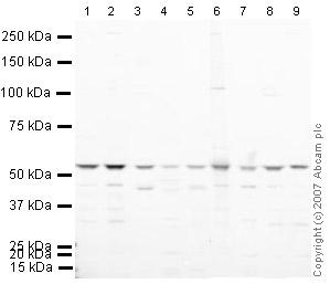 Western blot - EIF2G antibody (ab33207)
