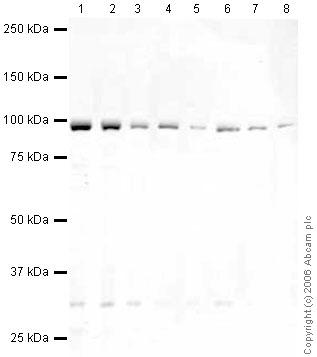 Western blot - EEF2 antibody (ab33208)