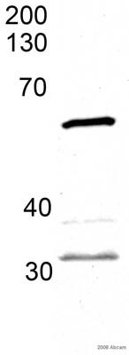 Western blot - HDAC1 antibody (ab33278)