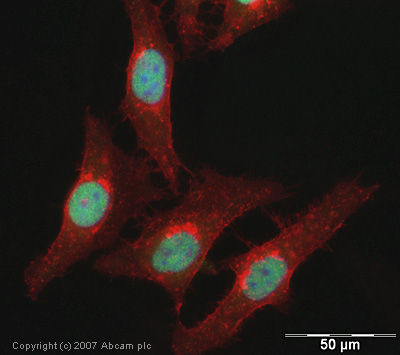 Immunocytochemistry/ Immunofluorescence - Histone H3 (acetyl K122) antibody (ab33309)