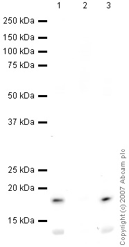 Western blot - Histone H3 (acetyl K122) antibody (ab33309)