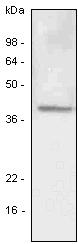 Western blot - LYVE1 antibody [4G1] (ab33477)