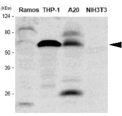 Western blot - IRF5 antibody [10T1] (ab33478)