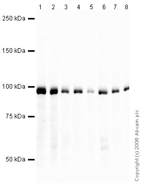 Western blot - EEF2 antibody (ab33523)