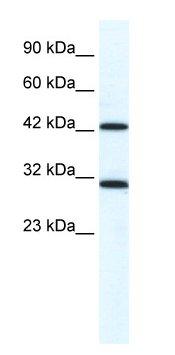 Western blot - DDX39 antibody (ab33773)