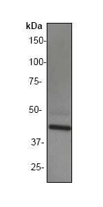 Western blot - General Receptor for phosphoinositides 1 antibody [EP394Y] (ab33886)