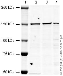 Western blot - CNAP1 antibody (ab34338)