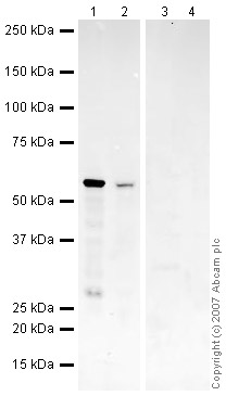 Western blot - SmyD1 antibody (ab32482)