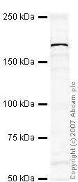 Western blot - Jarid1C / SMCX antibody (ab34718)