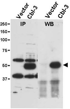 Western blot - Cbl-c antibody (ab34750)