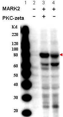 Western blot - MARK2 (phospho T595) antibody (ab34751)
