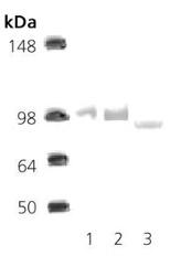 Western blot - Hsp90 antibody (ab34909)