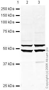 Western blot - EBP1 antibody (ab35424)