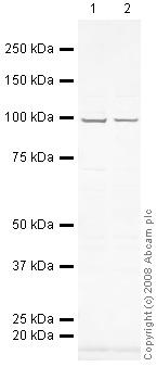 Western blot - VCP antibody (ab36047)