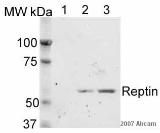 Western blot - Reptin/TIP49B/RUVB2 antibody (ab36569)