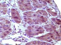 Immunohistochemistry (Formalin/PFA-fixed paraffin-embedded sections) - Bcl10 antibody [4F8E8H8] (ab36585)