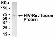 Western blot - HIV1 Rev antibody (ab36623)