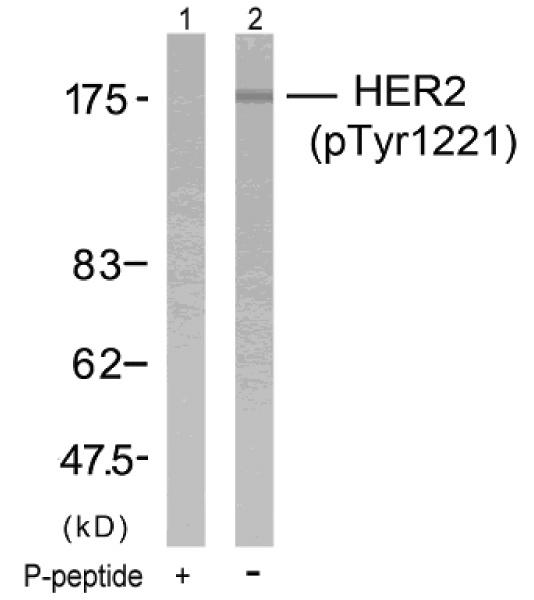 Western blot - ErbB 2 (phospho Y1221) antibody (ab36725)