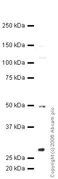 Western blot - PP14397 antibody (ab36759)