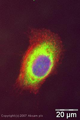 Immunocytochemistry/ Immunofluorescence - eIF3e antibody (ab36766)