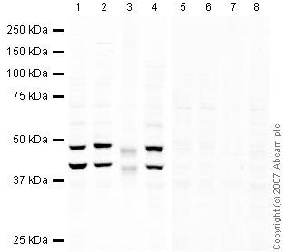 Western blot - eIF3e antibody (ab36766)