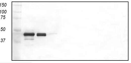 Western blot - zona radiata antibody [MN-7F2] (ab36802)