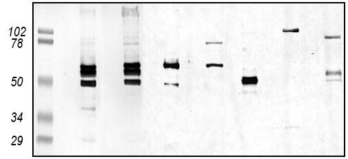 Western blot - zona radiata antibody (ab36803)