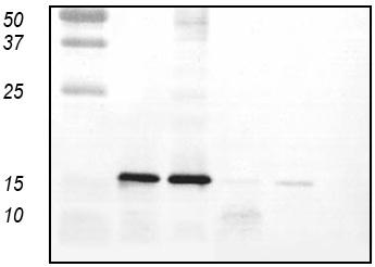 Western blot - Metallothionein antibody (ab36882)