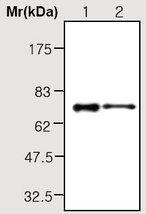 Western blot - PGRPL antibody [45G1] (ab36966)
